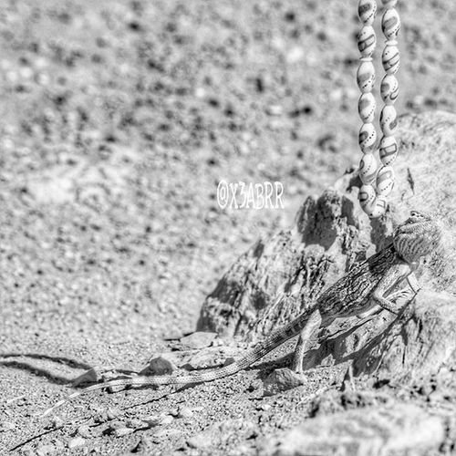 سبحة مسبحة Photographys 😀 Links desert lizard reptiles حيوانات تصويري صحراء القصيم مقطع لقطة السعودية سحلية سحالي زواحف ksa sonyalpha sony animal animals instalizard instalizards lizards saudiarabia saudi_arabia instareptiles reptiles instaanimal instaanimals