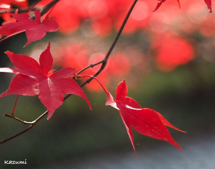 まだもう少し秋を楽しみたいのに… Growth Tree No People Maple Tree Day Outdoors Close-up Focus On Foreground Beauty In Nature Nature Maple Maple Leaf Red Change Leaf Autumn 生田緑地 Kanagawa Japan