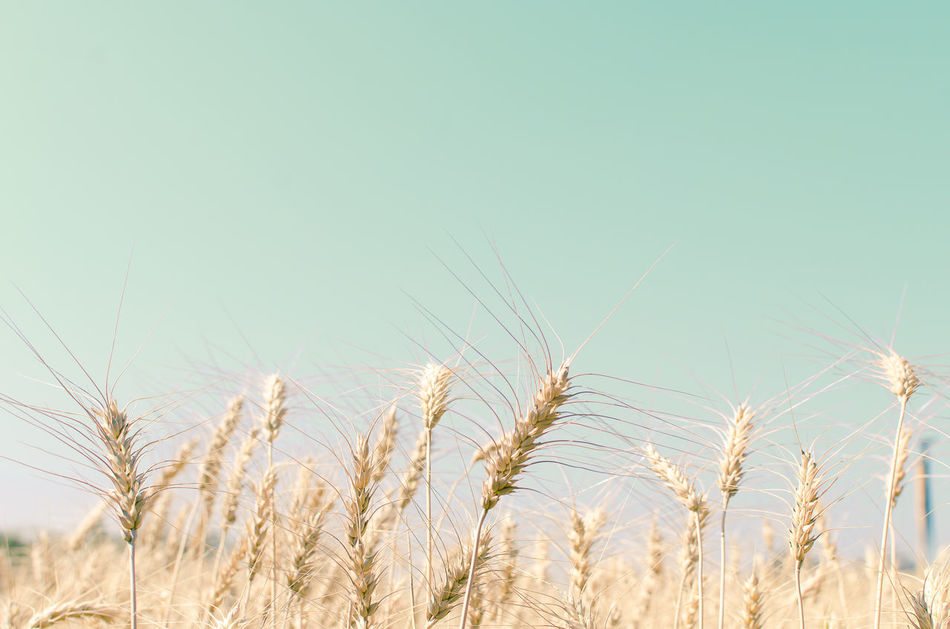 Barley field Agriculture Backgrounds Barley Barley Field Beauty In Nature Blue Cereal Plant Close-up Crop  Day Field Freshness Growth Nature No People Outdoors Plant Rural Scene Rye - Grain Scenics Sky Summer Wheat Wheat Field EyeEmNewHere
