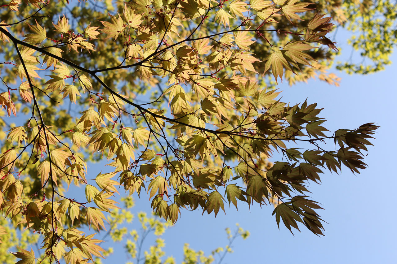 leaf, autumn, tree, nature, branch, change, low angle view, beauty in nature, growth, outdoors, no people, clear sky, maple tree, tranquility, day, maple leaf, scenics, maple, fragility, close-up, sky, freshness