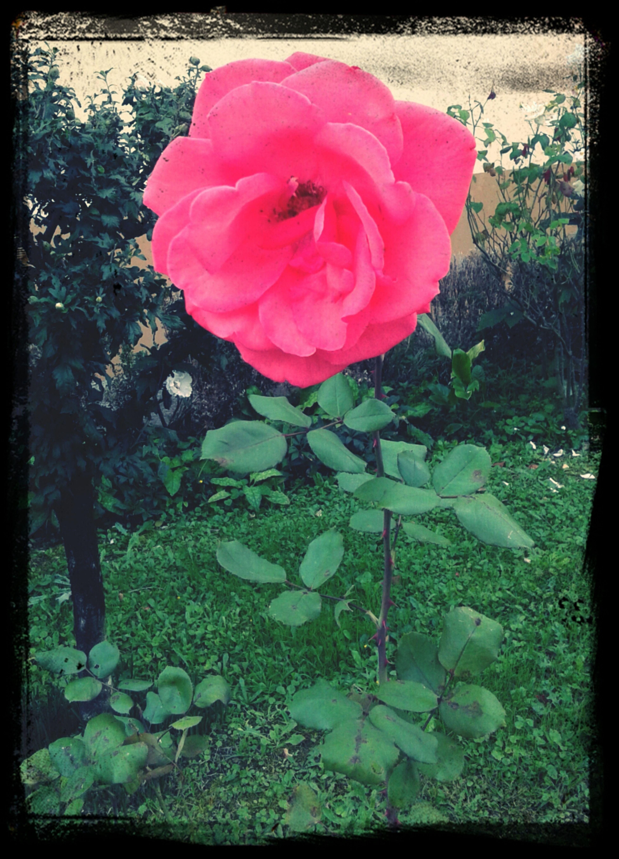 È il tempo che hai perduto per la tua rosa che ha fatto la tua rosa così importante♥ First Eyeem Photo