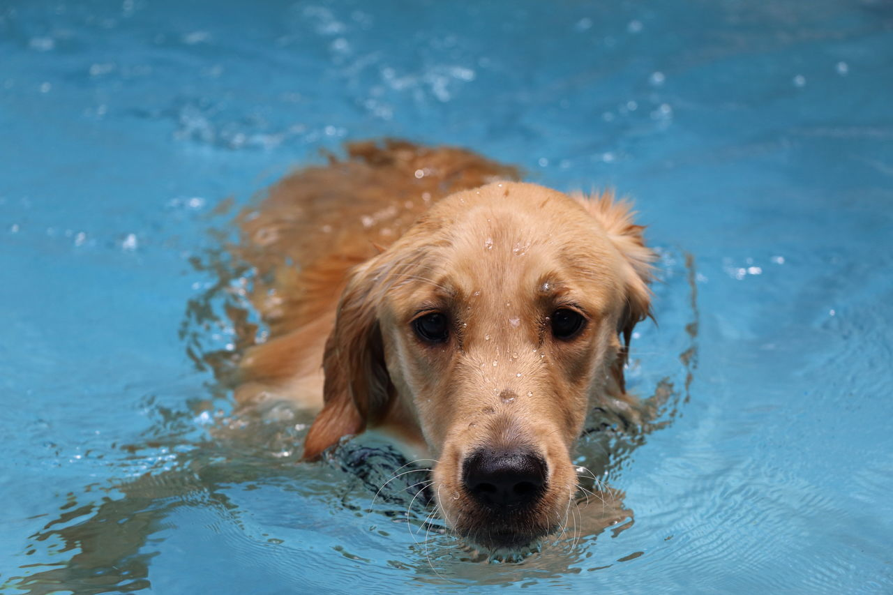 Beautiful stock photos of swimming, Animal Themes, Canine, Day, Dog