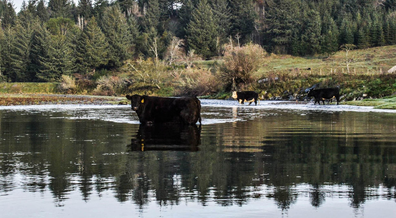 Cow Grazing I Love Where I Live! Livestock Nature Oregon River Fishing Really?  The Things I See When I'm Fishing..