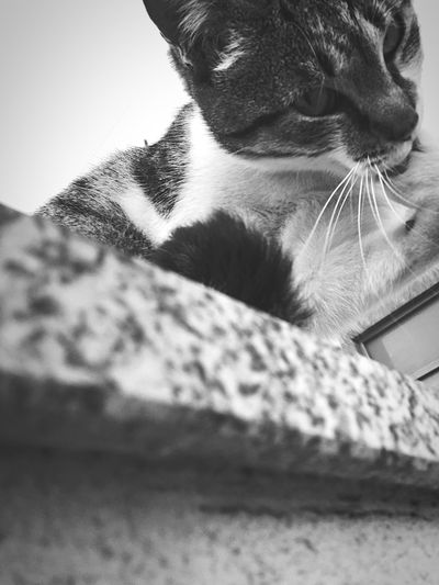 Cat Animal Themes Domestic Animals Domestic Cat Selective Focus Staring Looking At Camera Licking Paw One Animal