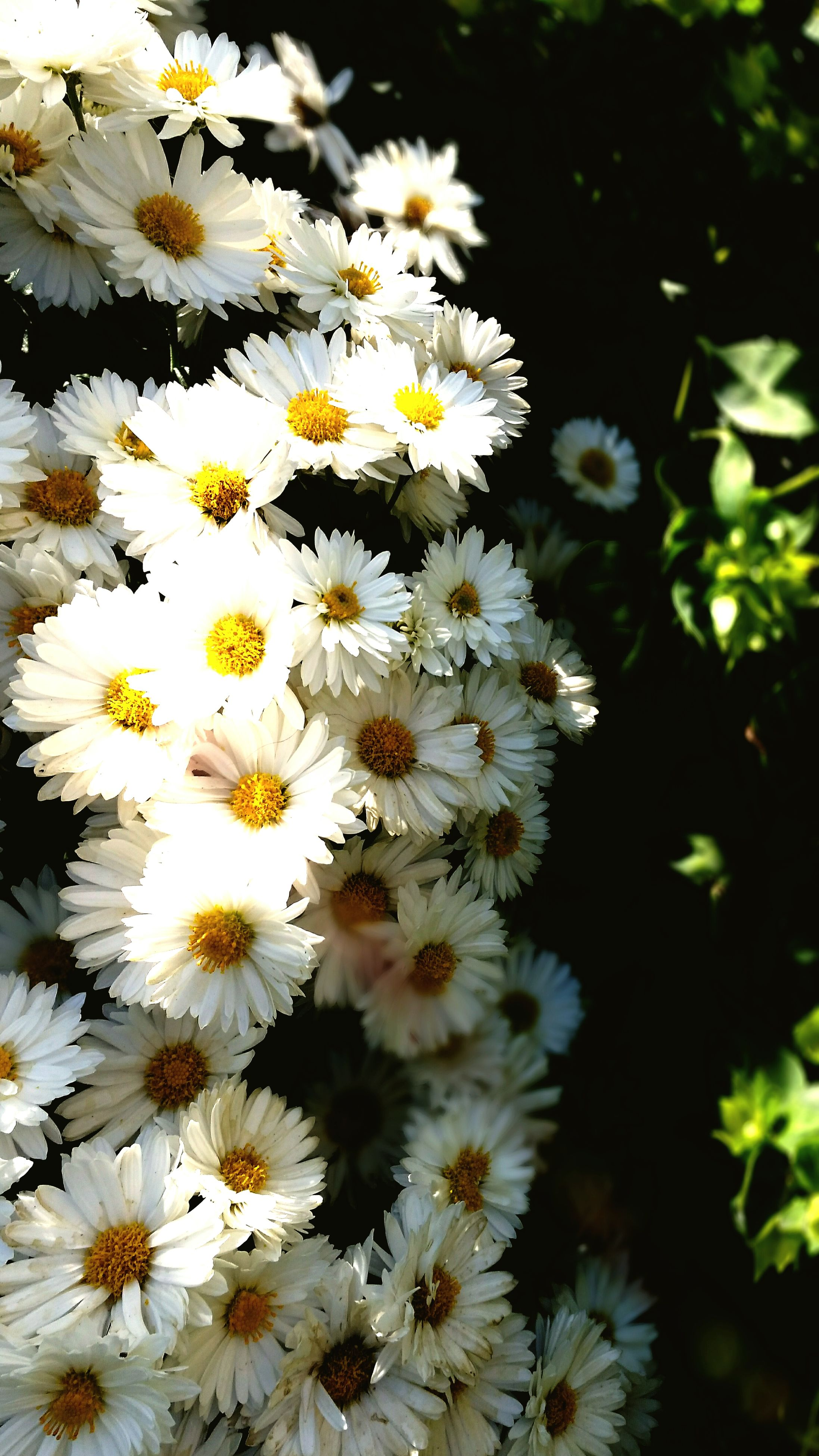 flower, freshness, white color, fragility, petal, growth, beauty in nature, flower head, blooming, nature, blossom, pollen, white, in bloom, high angle view, abundance, full frame, close-up, plant, daisy