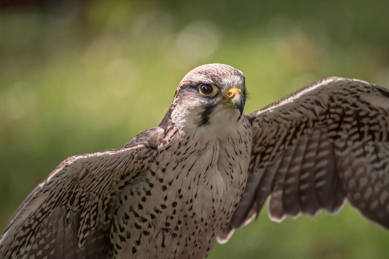 Beautiful stock photos of eule, Alertness, Animal Eye, Animal Themes, Bird