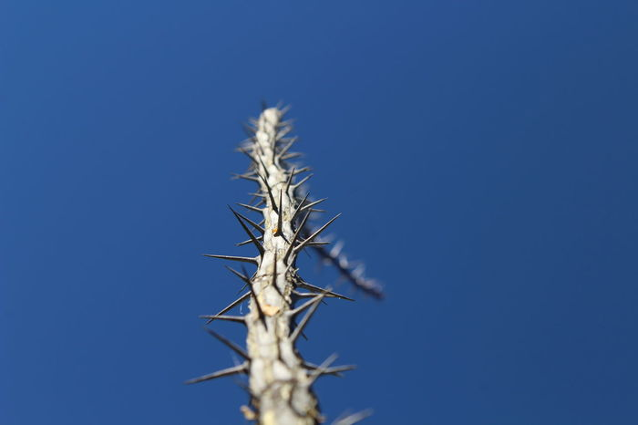 Clear Sky Close-up Composition Day Environmental Conservation Focus On Foreground Growing Growth Macro Beauty Nature Negative Space No Limits No People Ocotillo One Animal Outdoors Plant Showcase: January Shades Of Winter