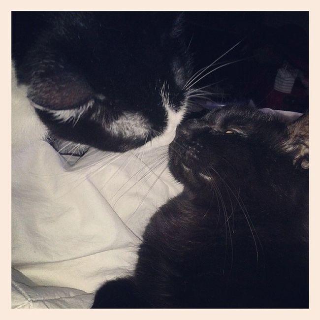 Kisses!! Xoxox Catsofinstagram Lazycatdaze Bagheerah Themingming kittykisses truelove CatBFFs