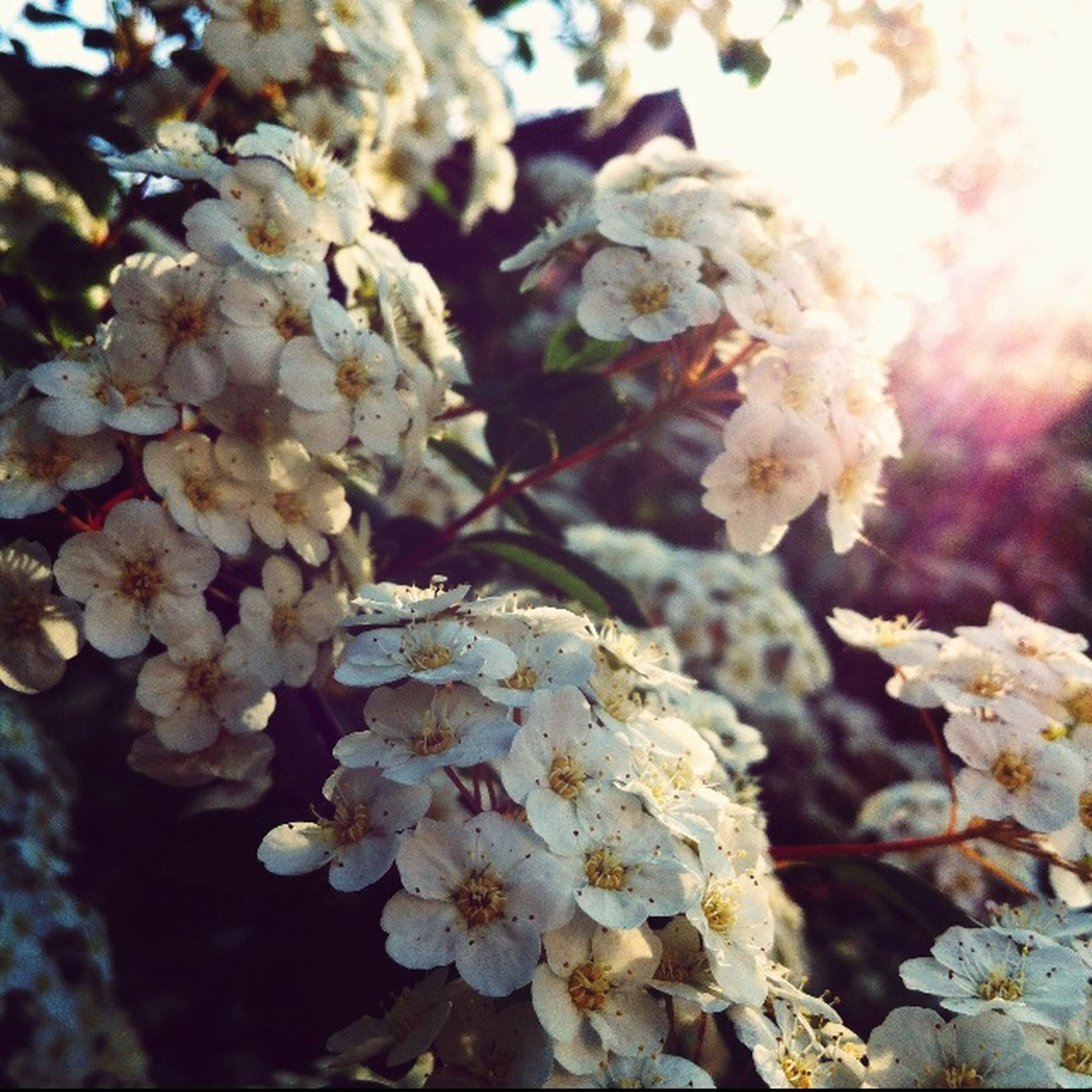 flower, fragility, focus on foreground, freshness, growth, branch, close-up, nature, beauty in nature, petal, tree, white color, blossom, twig, blooming, cherry blossom, flower head, in bloom, springtime, plant