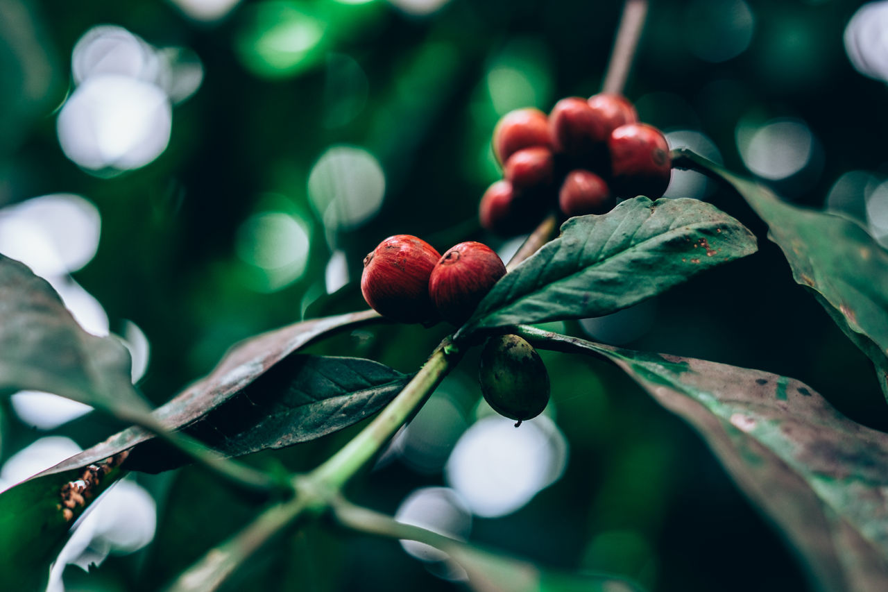Agriculture Beans Beauty In Nature Bokeh Close-up Coffee Coffee Beans Drink Food Freshness Fruit Gardening Growth Healthy Eating Ingredient Leaf Nature Organic Organic Food Outdoors Plant Selective Focus Tree Unprocessed EyeEmNewHere