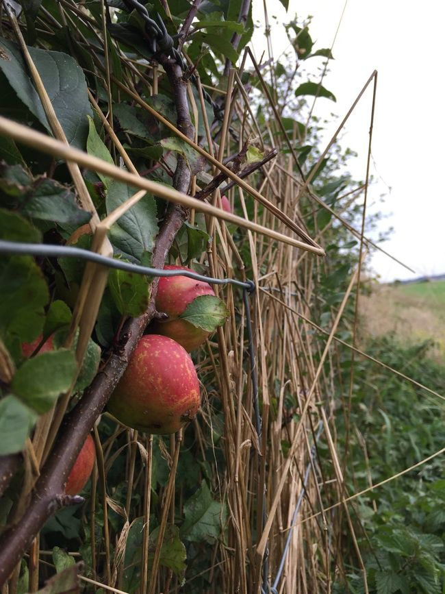 Growth Close-up Autumn Colors Autumn Fruits Hedgerow Fruit Selective Focus Nature Freshness Leaf Red Food Plant Day Beauty In Nature Outdoors Growing Focus On Foreground No People Agriculture Fragility