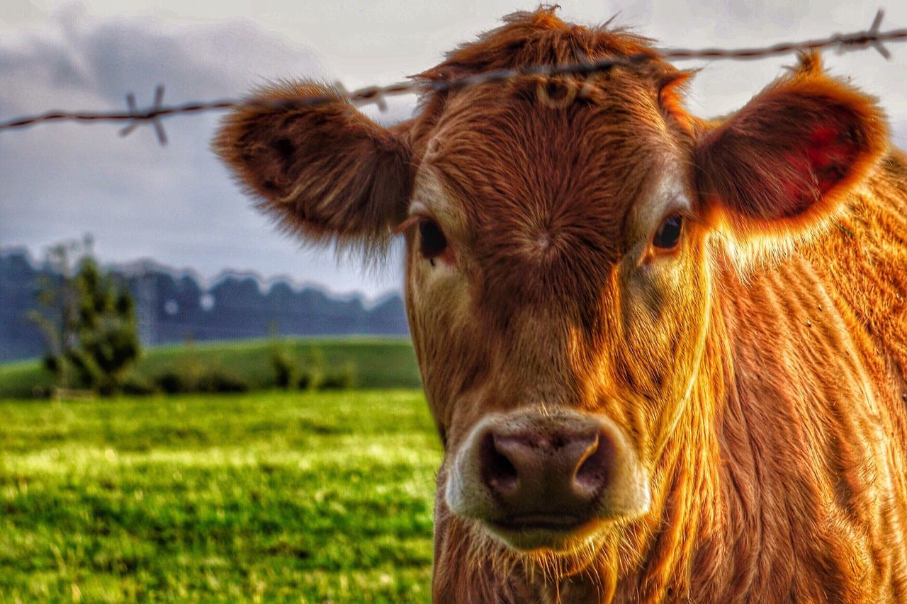 Domestic Animals Livestock Cow Animal Themes Grass One Animal Mammal Focus On Foreground Field No People Cattle Domestic Cattle Close-up Domesticated Animal Tag Nature Standing Portrait Day Outdoors Grassland Nature Nature_collection Animals Animals In The Wild Close Up