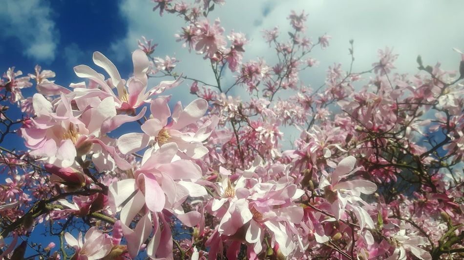 Beauty In Nature Nature Growth No People Flower Sunset Outdoors Tree Pink Color Plant Blossom Low Angle View Close-up Magnolienblüte Magnolienknospe Magnolia Flower Magnolias Blooming Magnolia Loebneri Magnolia Tree Magnolia Blossom Sky Branch Day Fragility Freshness