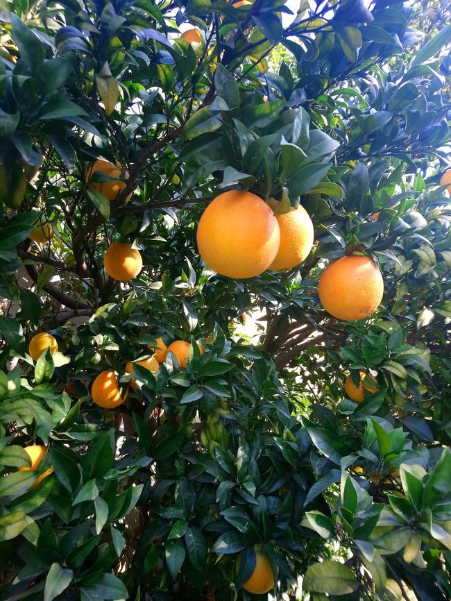 Fruit Orange - Fruit Orange Tree Outdoors Nature