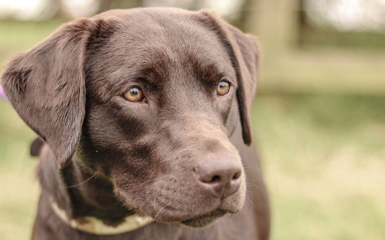 A Man's Best Friend Dog Dogs Dogs Of EyeEm Labrador Chocolate Lab Brown Labrador  Staffordshire Shugborough County Fair Focused Enjoying Life Piercing Eyes AMansBestFriend A Mans Best Friend.