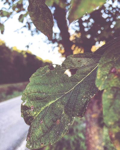 🍃 Leaf Focus On Foreground Close-up Leaf Vein Natural Pattern Growth Branch Nature Outdoors Green Color Beauty In Nature Leaves Damaged Scenics Day Freshness Tranquility Fragility Botany