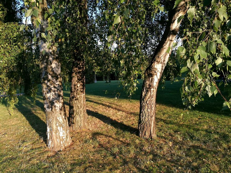 Birch trees in the evening light. Tree Shadow Beauty In Nature Birchtrees Autumn Light Birchtree Beauty In Nature Growth Evening Light And Shadow