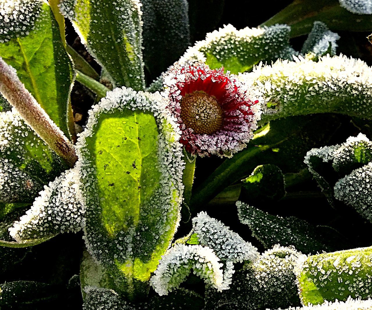Beauty In Nature Close-up Cold Weather Cold Winter ❄⛄ Flower Green Color Nature Plant Snow Winter