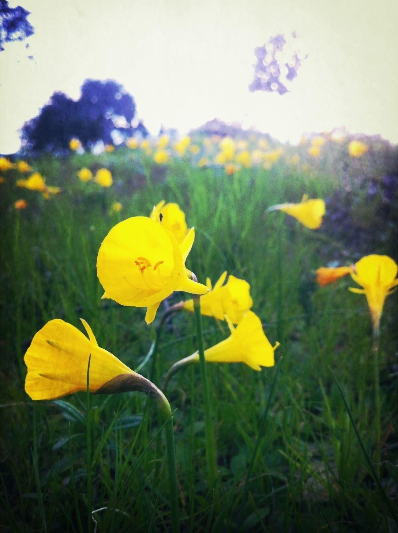 Get Lost VivirExtremadura Narciso Acampanado Narcissus Bulbocodium