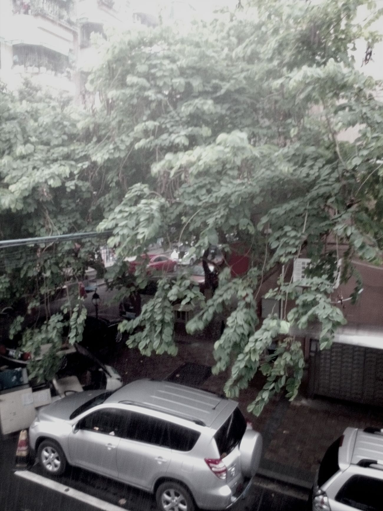 Hello World 雨中的皂荚树