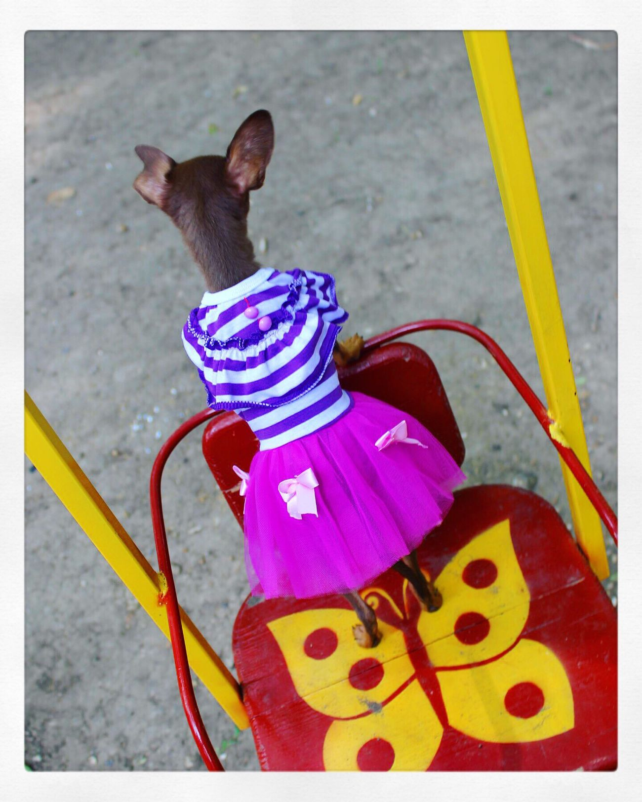 Позируем и заодно катаемся Russiantoy Russiantoyterrier Russiantoyterier Littlepuppy Fashiondog Littledress Dress Fashion Тойчик Butterfly бабочка