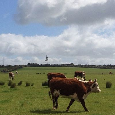 #hereford are #myfavourite #moocows especially on #moocowmonday this is near #myhometown #drysdale on the #bellarine Hereford Myhometown Drysdale Bellarine