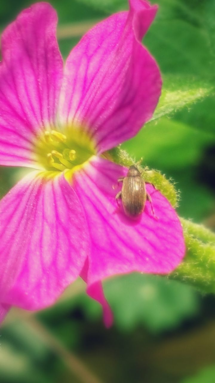 flower, petal, fragility, one animal, insect, animal themes, pink color, animals in the wild, nature, growth, beauty in nature, freshness, flower head, plant, no people, close-up, day, outdoors, animal wildlife, blooming, pollination