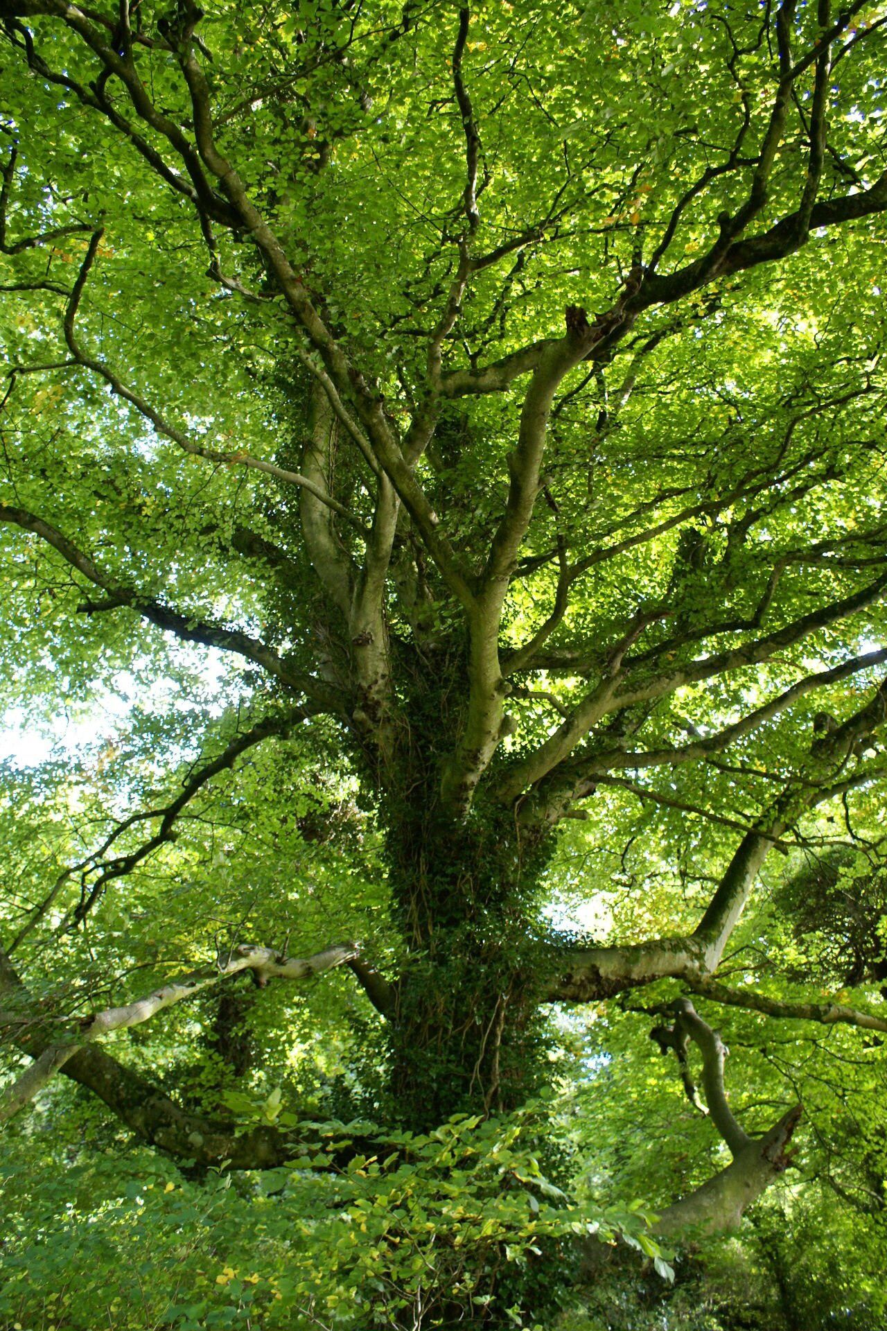 Tree Branch Green Color Tree Trunk Forest Tranquility Nature Beauty In Nature Lush Foliage Majestic WoodLand