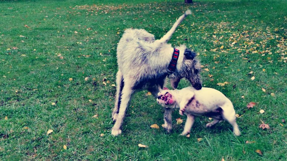 Domestic Animals Dog Grass Loyalty Green Color Animal Behavior Who Let The Dogs Out? Playing With The Dogs Dogplaying Dog Of The Day Dogslife Dogs Of EyeEm Cearnaigh Dogwalk Irish Wolfhound Autumn Is Here...Fall Mood! Dogs Of Autumn The Places I've Been Today September 2016 Autumn 2016 Showcase September Autumn🍁🍁🍁 Outdoors Animal Themes Autumn Is Here 🍂🍁