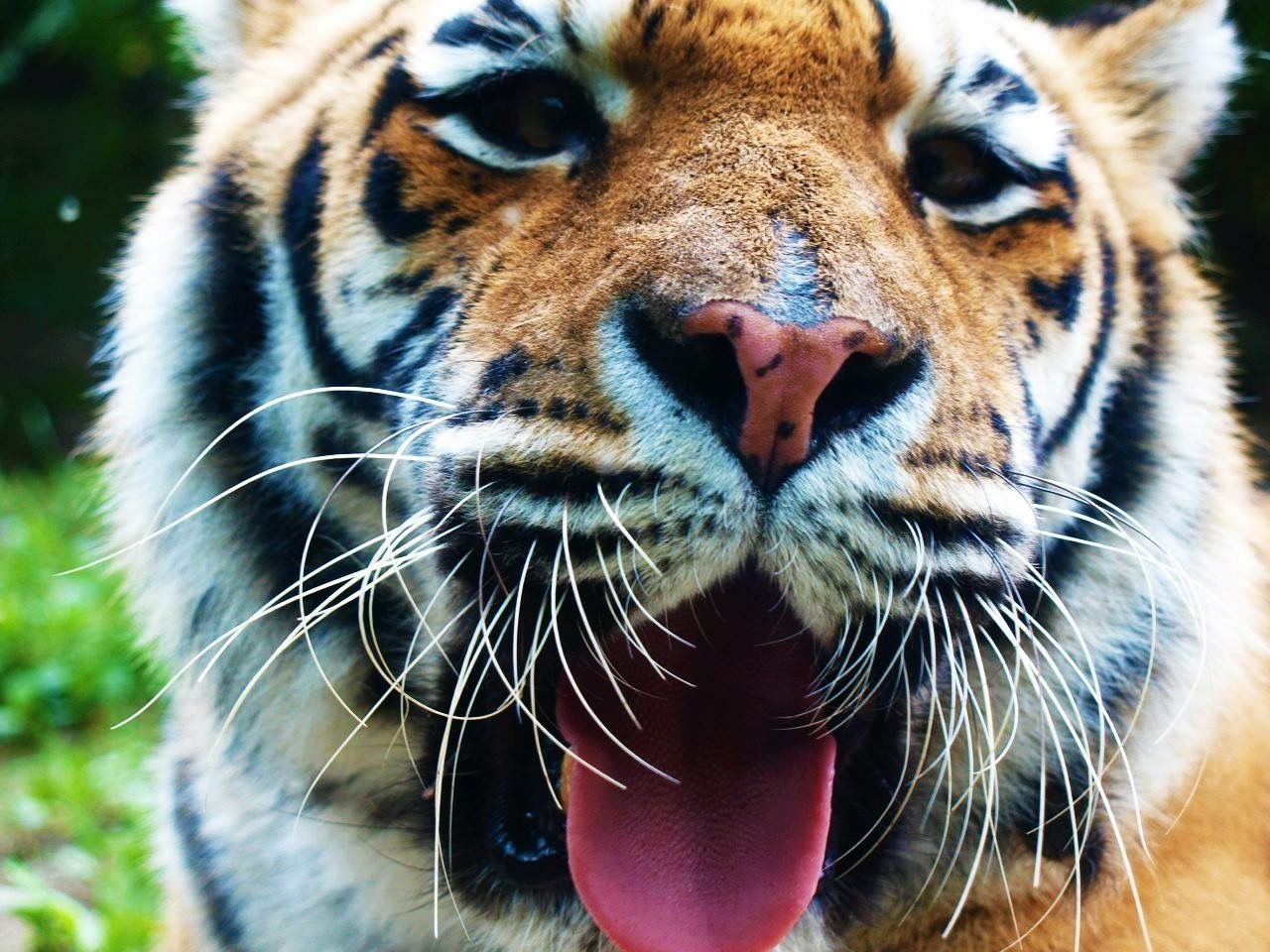 Beautiful stock photos of tiger, Animal Body Part, Animal Head, Animal Themes, Animal Wildlife