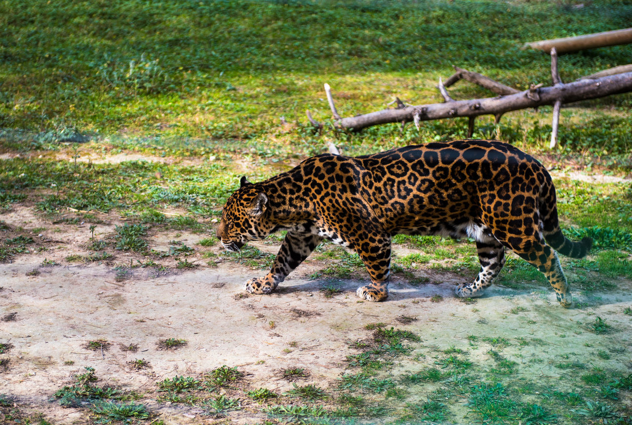 Jaguar Aitana Animal Animals In The Wild Carnivore Cat Dangerous Animals Day Endangered Animals Grass Hunter JAGUAR Leopard Mammal One Animal Outdoors Outside Predator Safari Animals Safari Park SPAIN Undomesticated Walking Wild Wildlife Zoo