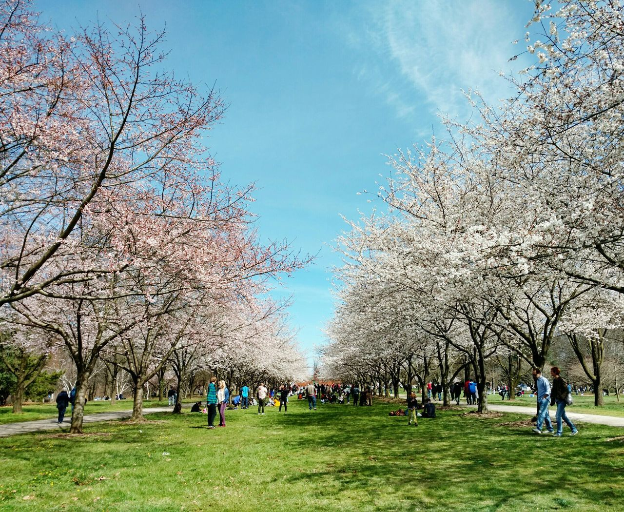 Spring is here!! Trees Cherryblossoms Cherryblossomtrees Pinktrees Whitetrees Pinkflowers Whiteflowers Japanesecherryblossom Spring Flowers Flowertree Flowertrees Beauty In Nature Withpeople
