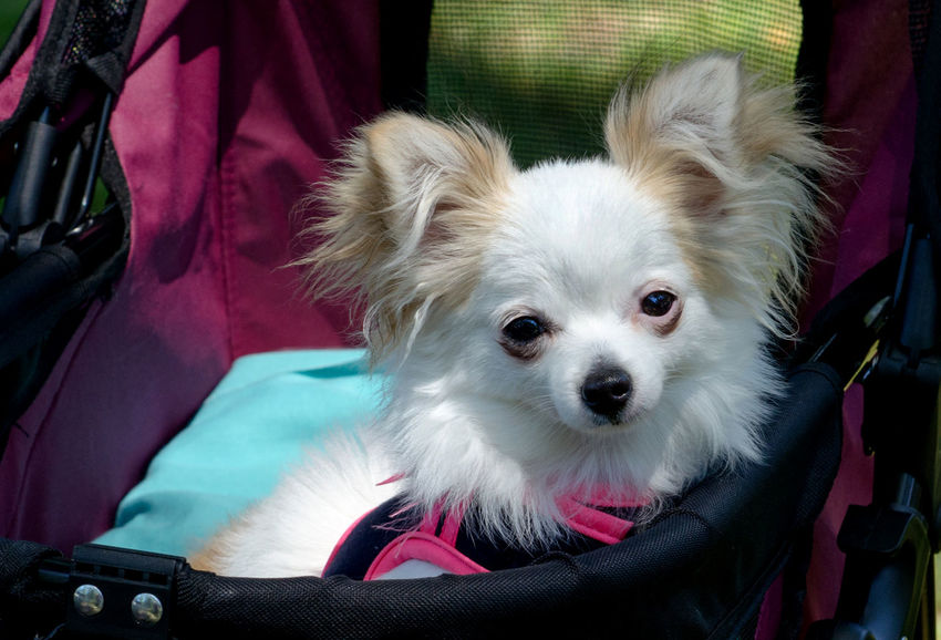 this little pup travels in style in her own puppy dog stroller Animal Themes Canine Close-up Day Dog Dog Buggy Domestic Animals Loved Mammal Mode Of Transport One Animal Outdoors Pets Pomeranian Small Dog Spoiled Pets Transportation