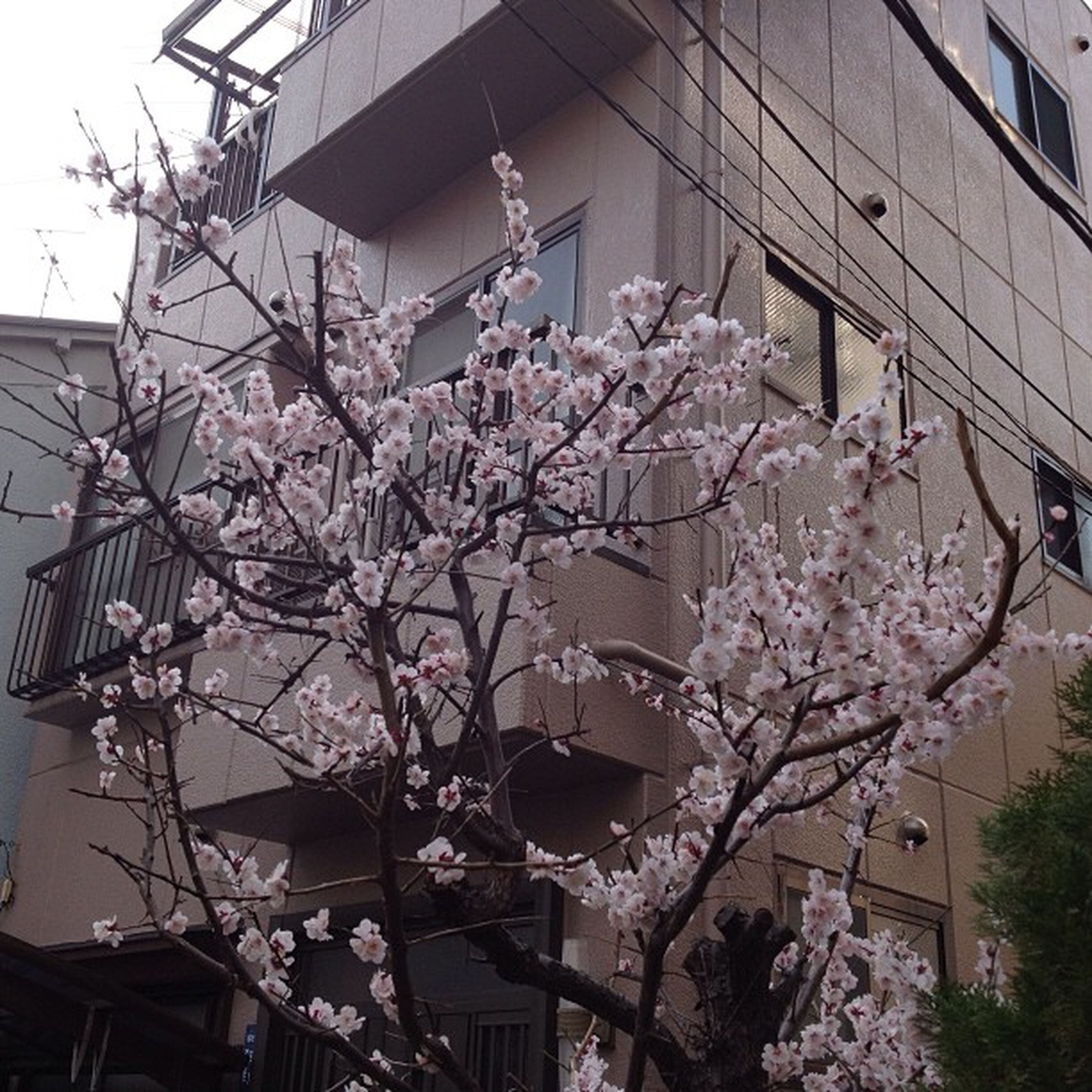 flower, building exterior, architecture, built structure, low angle view, branch, tree, growth, freshness, blossom, fragility, house, nature, pink color, in bloom, cherry blossom, residential structure, residential building, blooming, building