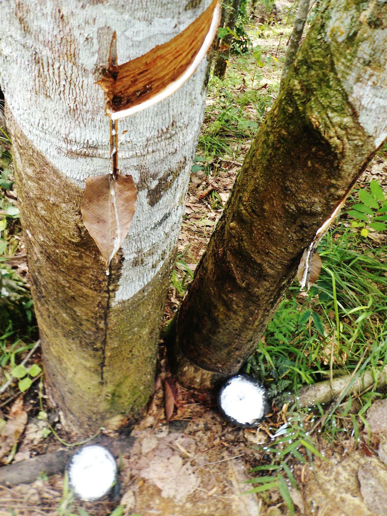 Rubber Harvest Rubber Plantation Rubber Tree Sumatera Sumatra