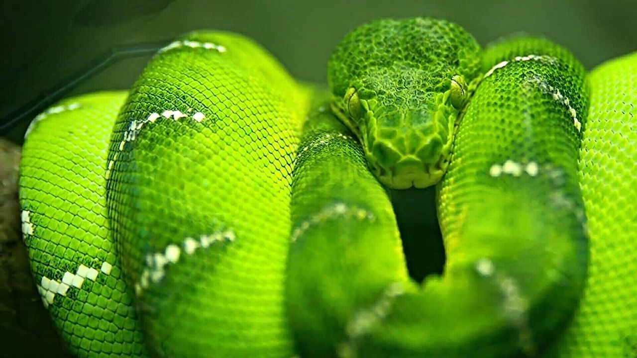 Dangerous Green Green Color Close-up Indoors  No People Reptile Photography Snakes Are Beautiful Zoophotography Snakes Of Eyeem Snake Eyes Animal Themes Animal Photography Green Color Green Eyes Green Nature