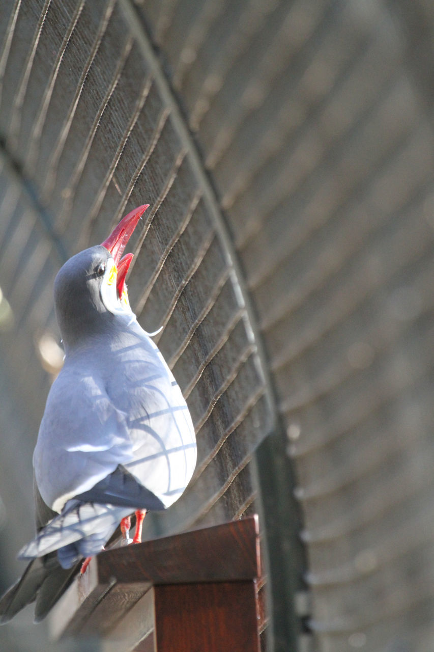 bird, animal themes, animals in the wild, one animal, animal wildlife, perching, day, no people, outdoors, red, close-up, parrot, nature