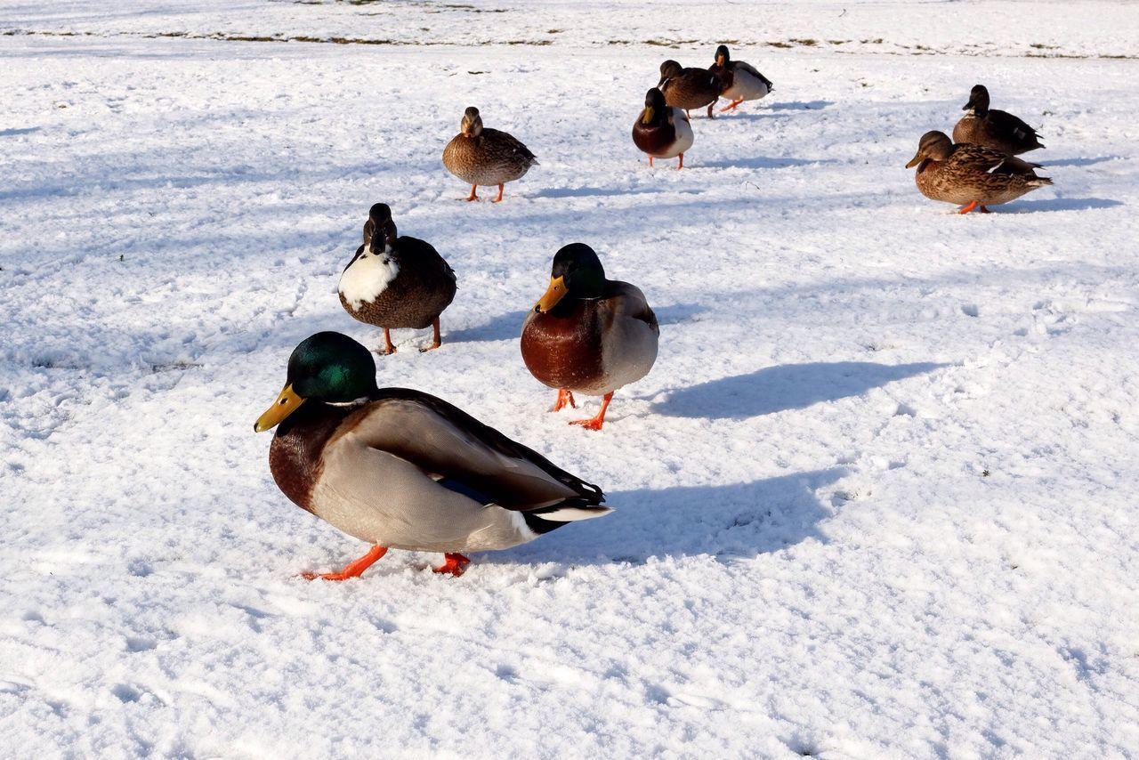 Beautiful stock photos of duck, Animal Themes, Animals In The Wild, Beak, Cold Temperature