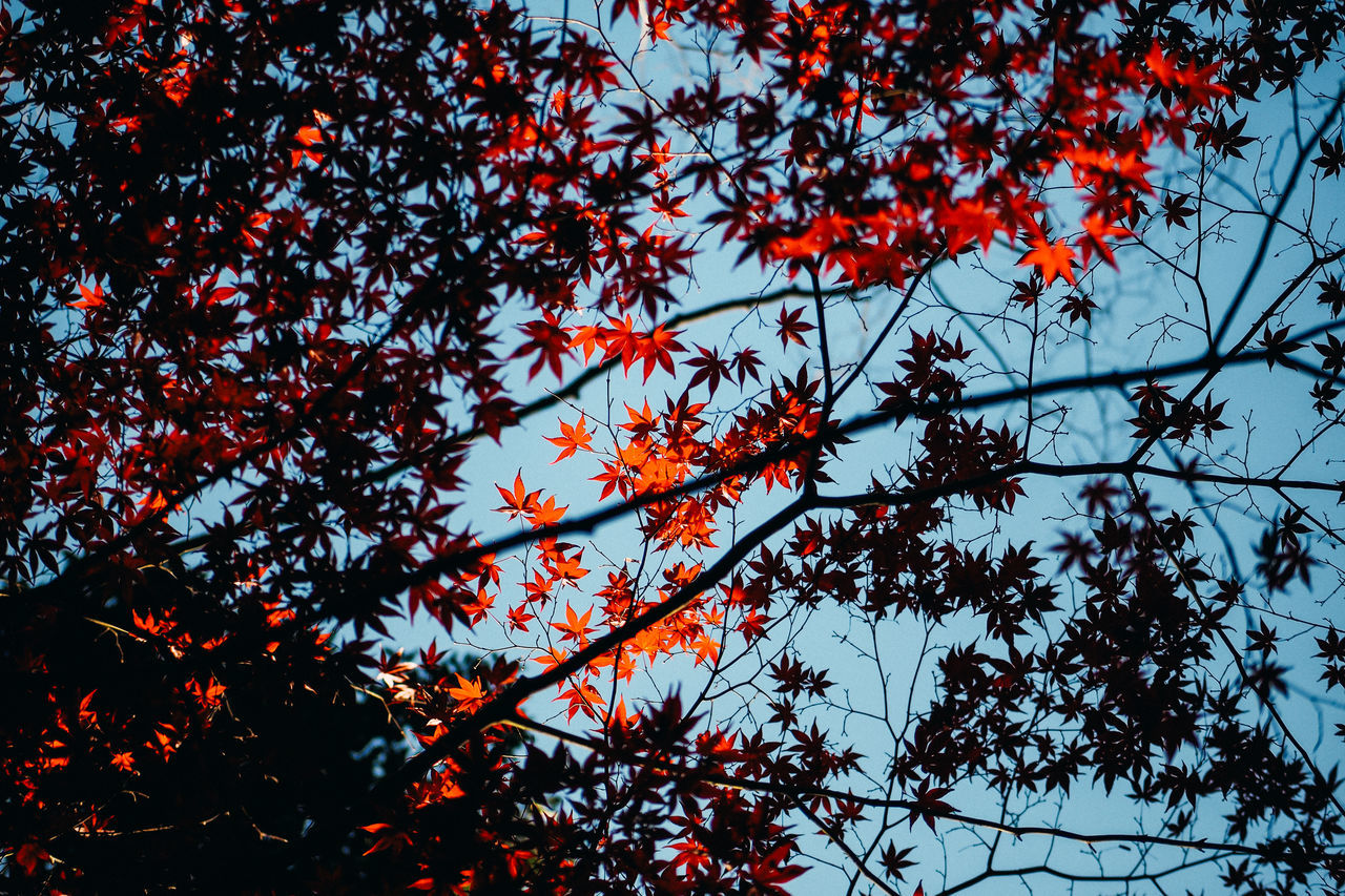Low Angle View Of Autumn Leaves On Tree Autumn Beauty In Nature Blue Sky Branch Change Clear Sky Colour Image Day Growth Japan Leaf Light And Shadow Low Angle View Maple Leaf Maple Tree Momiji Nature No People Outdoors Red Scenics Sky Tranquility Tree Yokohama