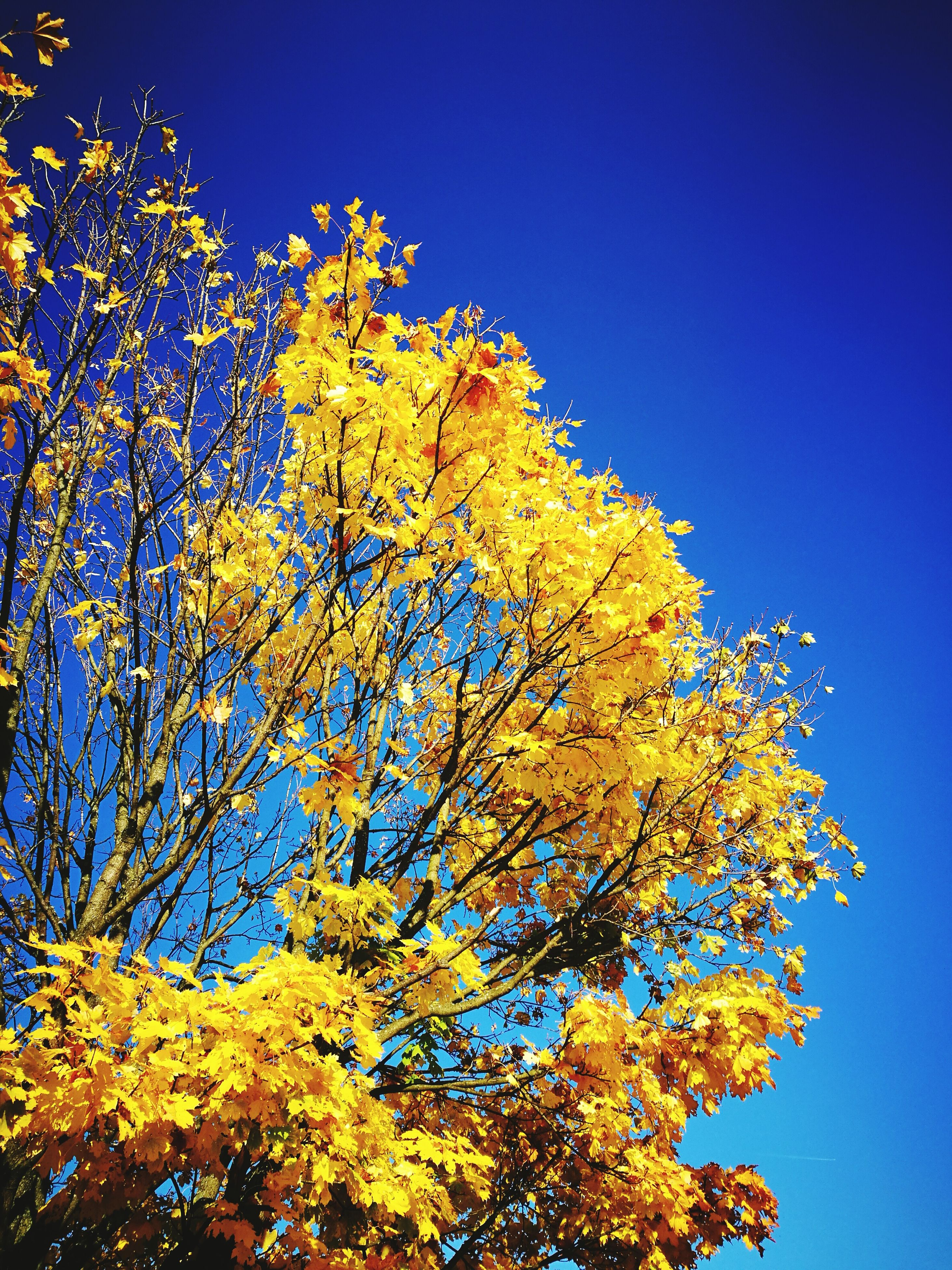 low angle view, blue, clear sky, no people, sky, gold colored, outdoors, sunlight, yellow, tree, day, close-up, nature, beauty in nature