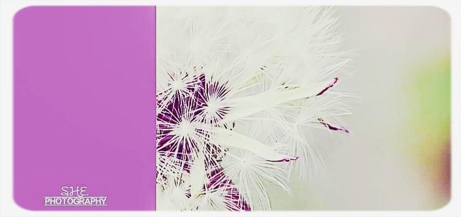 dandelion Dandelion Springtime