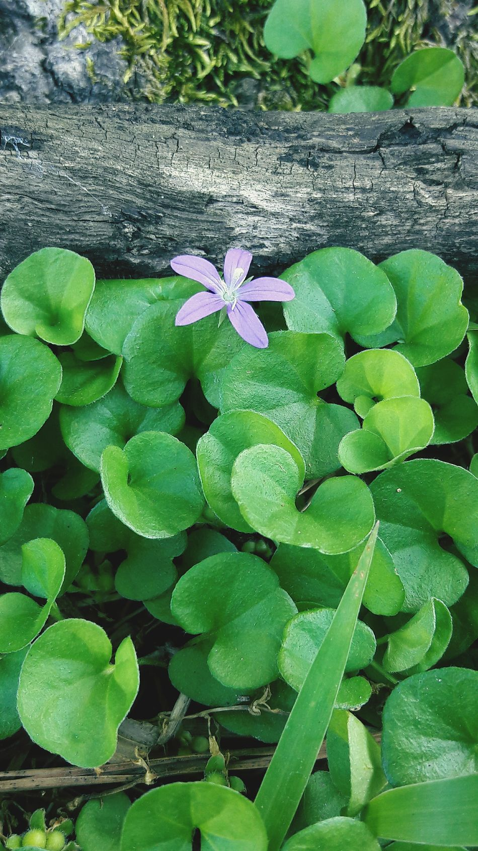 Good morning from a cute little purple flower 💜 Nature Growth Plant Green Color Leaf Beauty In Nature High Angle View Freshness Flower Fragility No People Outdoors Close-up Day Flower Head Popular Photos Purpleflower Tinyflowers Tiny