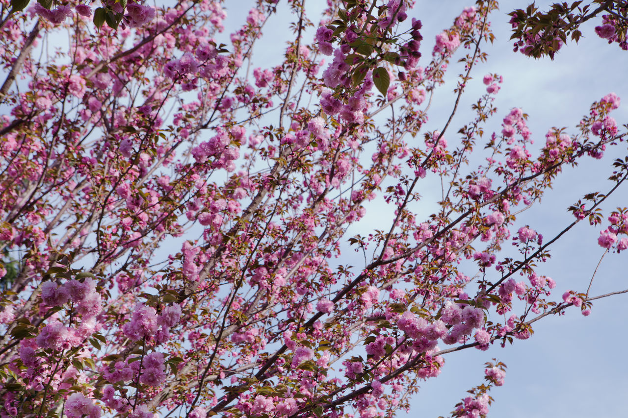 Beauty In Nature Blossom Branch Cherry Blossoms Close-up Day Flower Fragility Freshness Growth Hanami Sakura  Low Angle View Nature No People Outdoors Pink Color Pink Flower Plum Blossom Sky Springtime Tree