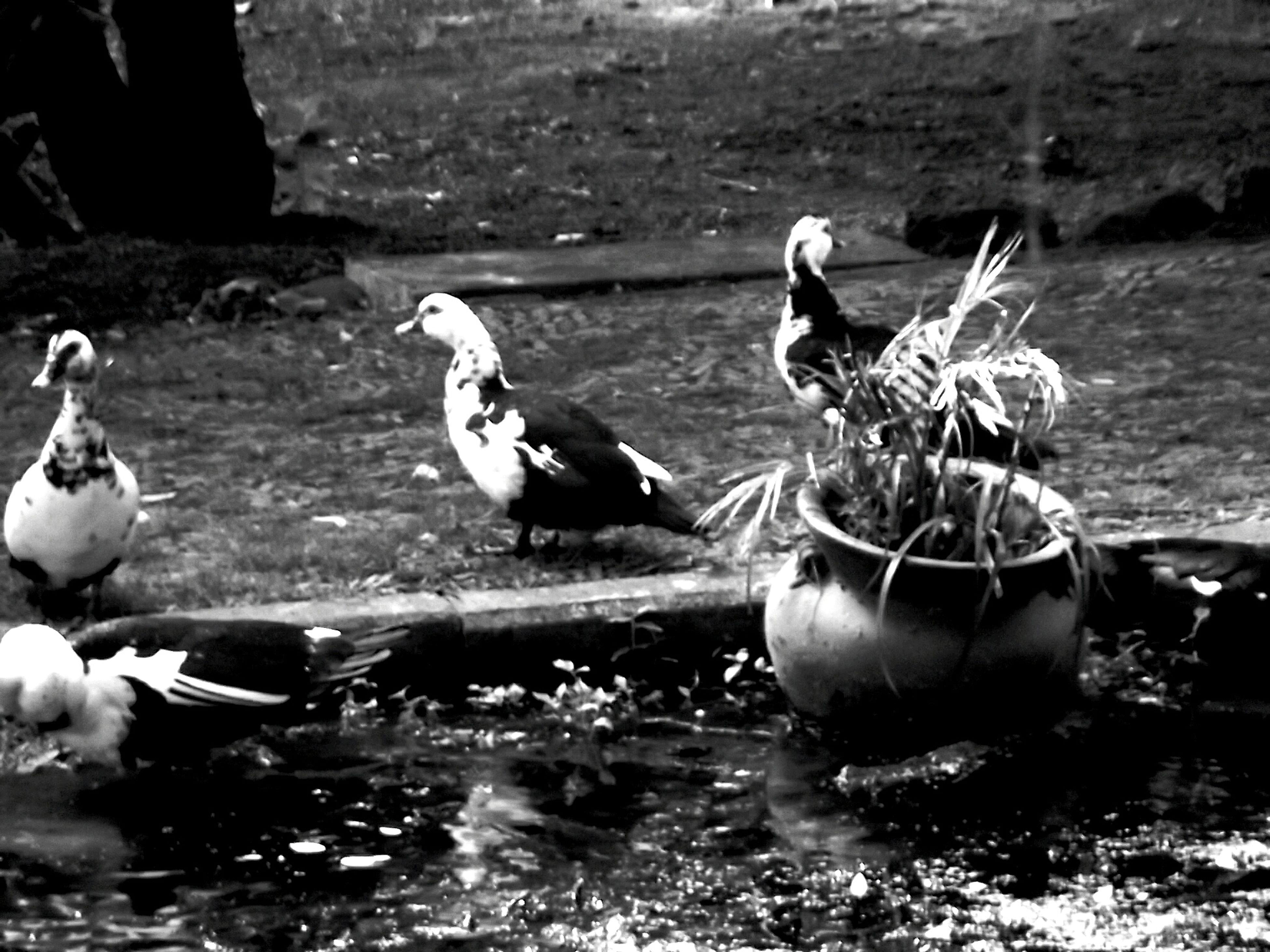 bird, water, animal themes, animals in the wild, wildlife, swimming, waterfront, lake, two animals, nature, medium group of animals, reflection, duck, day, perching, three animals, outdoors, swan, sunlight