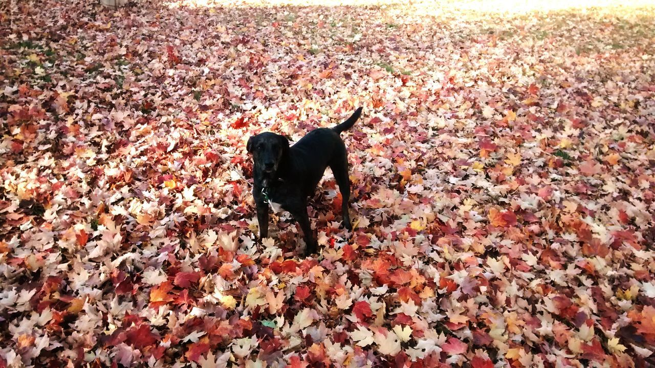 autumn, leaf, dog, pets, change, domestic animals, animal themes, nature, dry, day, mammal, outdoors, one animal, no people, full length, beauty in nature