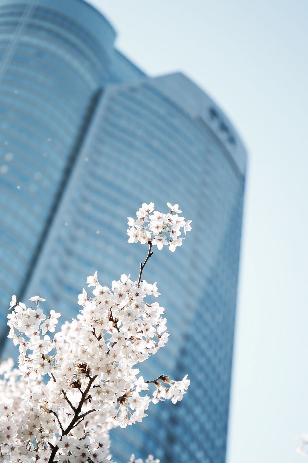 Blooming in Roppongi, Japan. Taking Photos Beautiful Tokyo Cherry Blossoms EyeEm Nature Lover Flowers Architecture EyeEm Best Shots Japan Looking Into The Future 六本木ヒルズ 桜