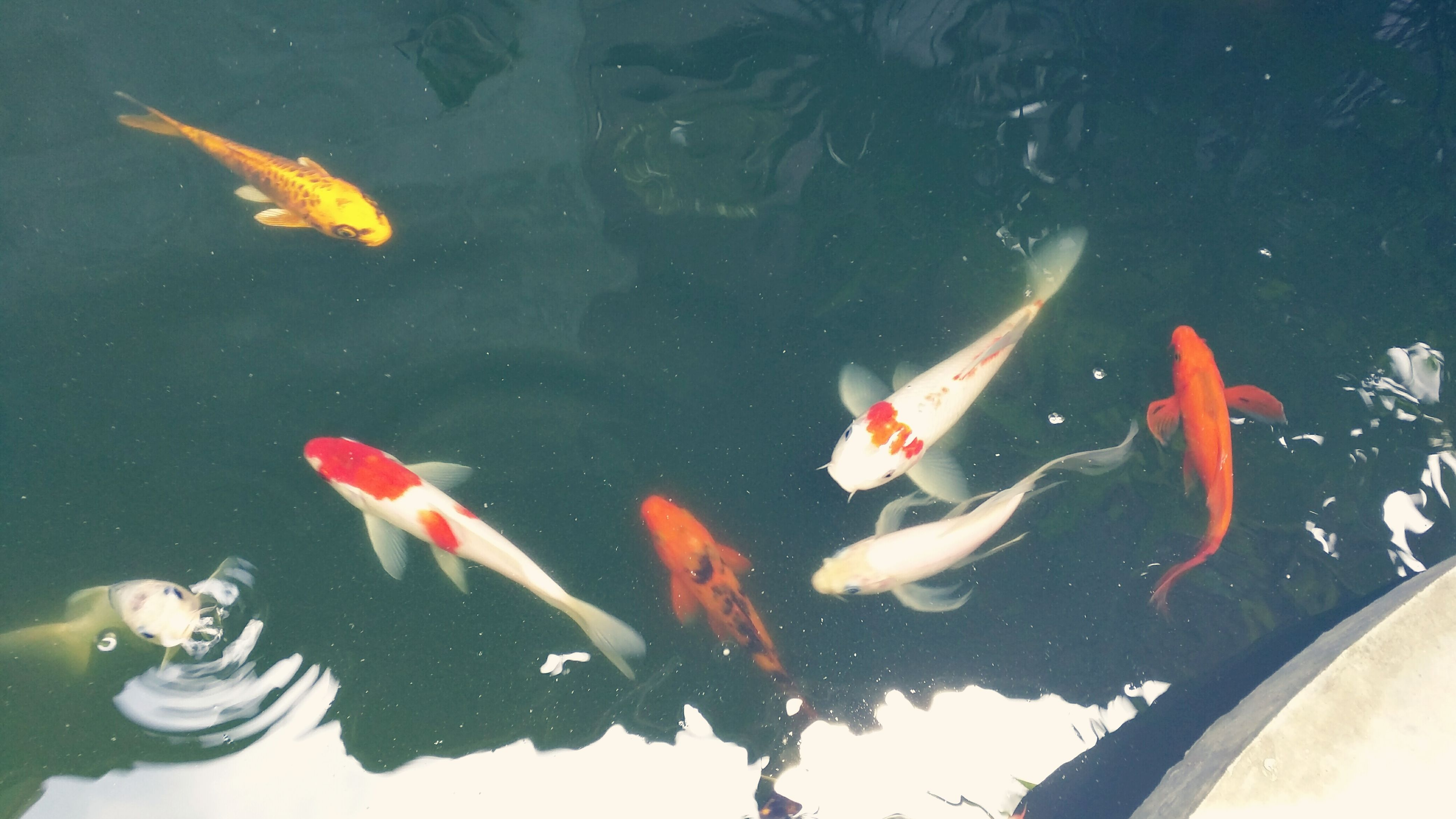water, animal themes, swimming, animals in the wild, fish, wildlife, sea life, koi carp, underwater, school of fish, pond, high angle view, floating on water, medium group of animals, waterfront, lake, nature, reflection