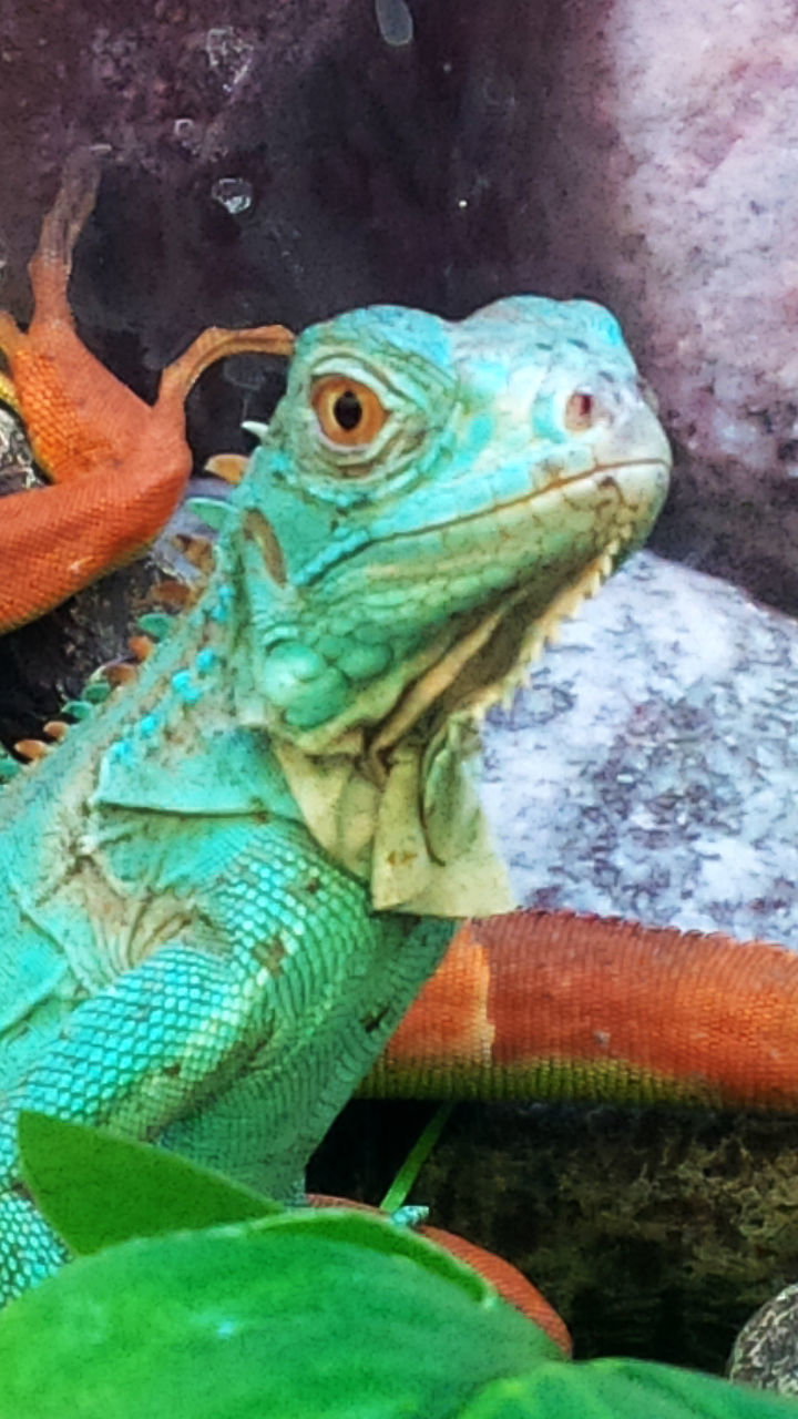 animal themes, reptile, one animal, green color, animals in the wild, no people, day, animal wildlife, bearded dragon, close-up, nature, outdoors