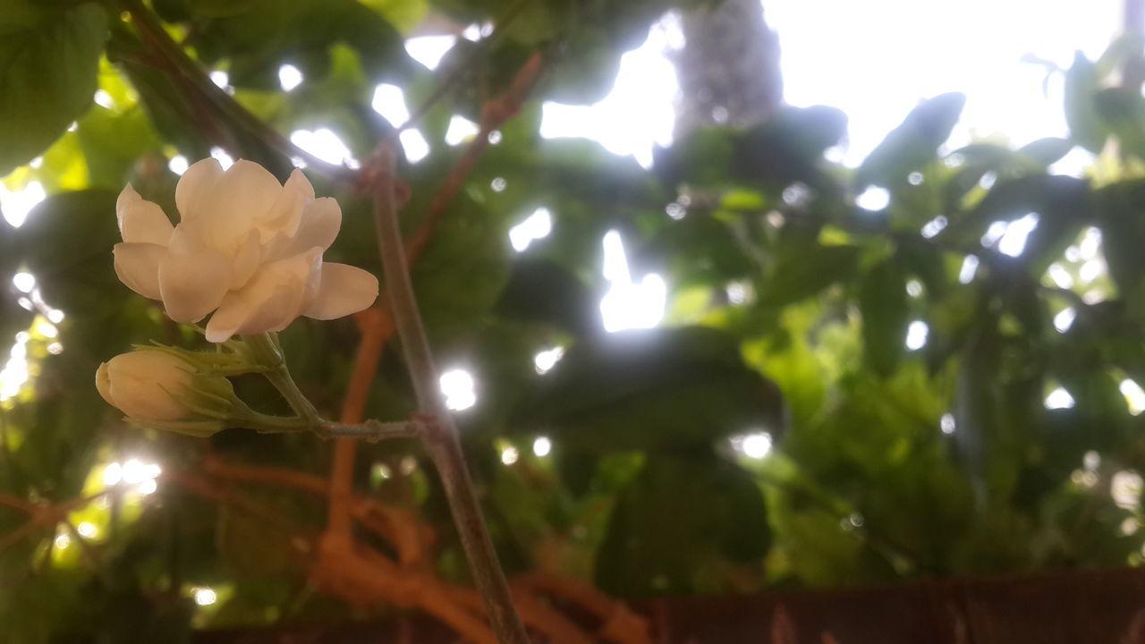 Flower Nature No People No Filter No Edit/no Filter No Filter, No Edit, Just Photography Morning Morning Light Sunrise Optimization לבנה בוקר