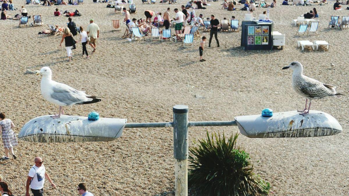 ' Grockles ' Seaside Tourists Lamppost Seagulls Black And White Brighton Urban Wildlife Perching Leisure Activity Seagull Beach Animals In The Wild Bird -- B